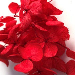 002-Hydrangea-Rood-